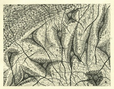 «Нейроны» Сантьяго Рамона и Кахала, ок. 1900 («Кахалские Бабочки Души»: Прекрасный Мозг)