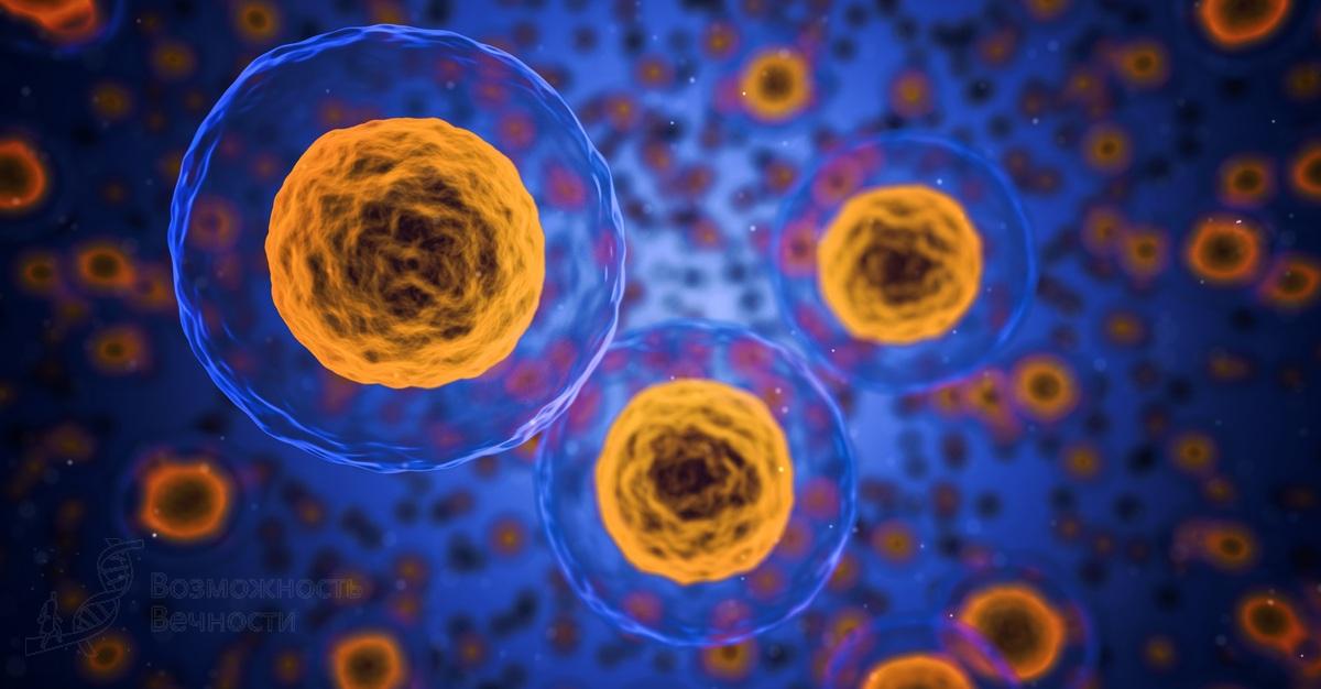 Распространение стволовых клеток