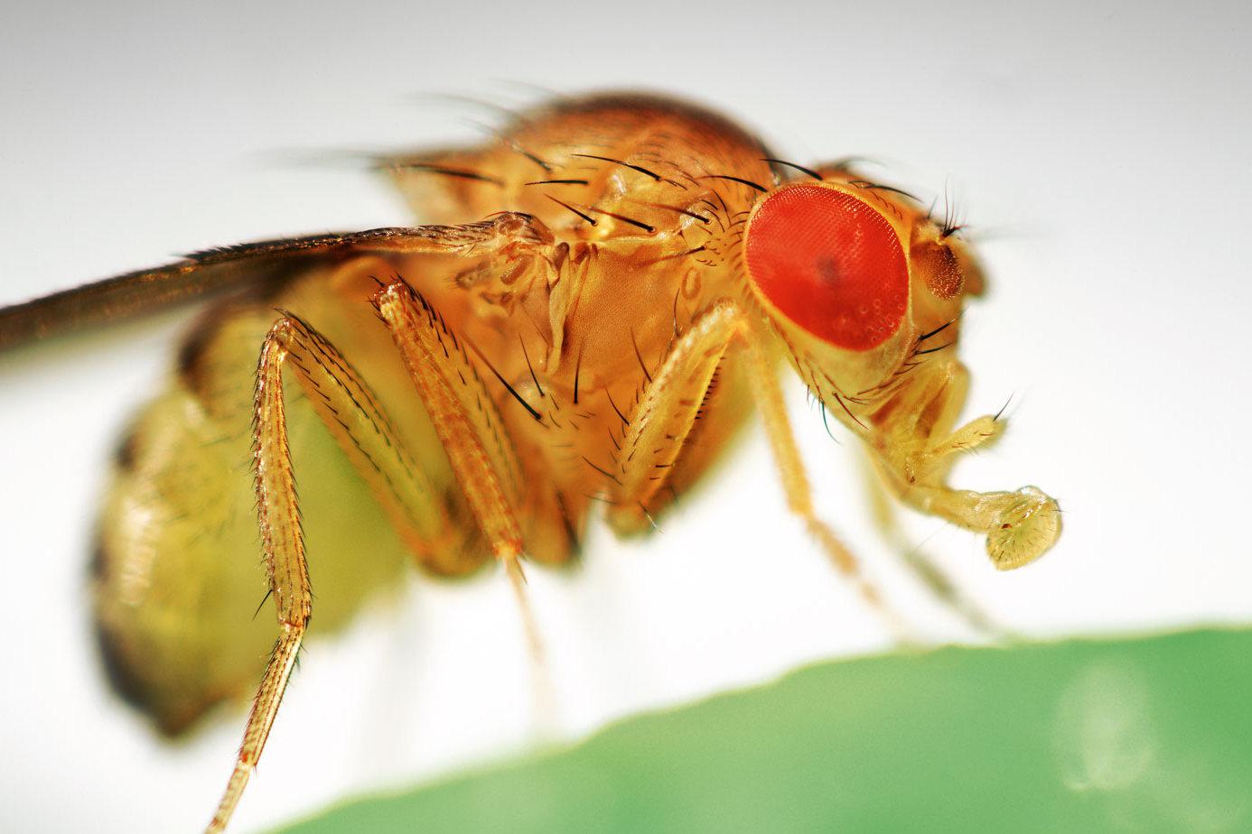 Белок Сестрин - мухи Дрозофилы