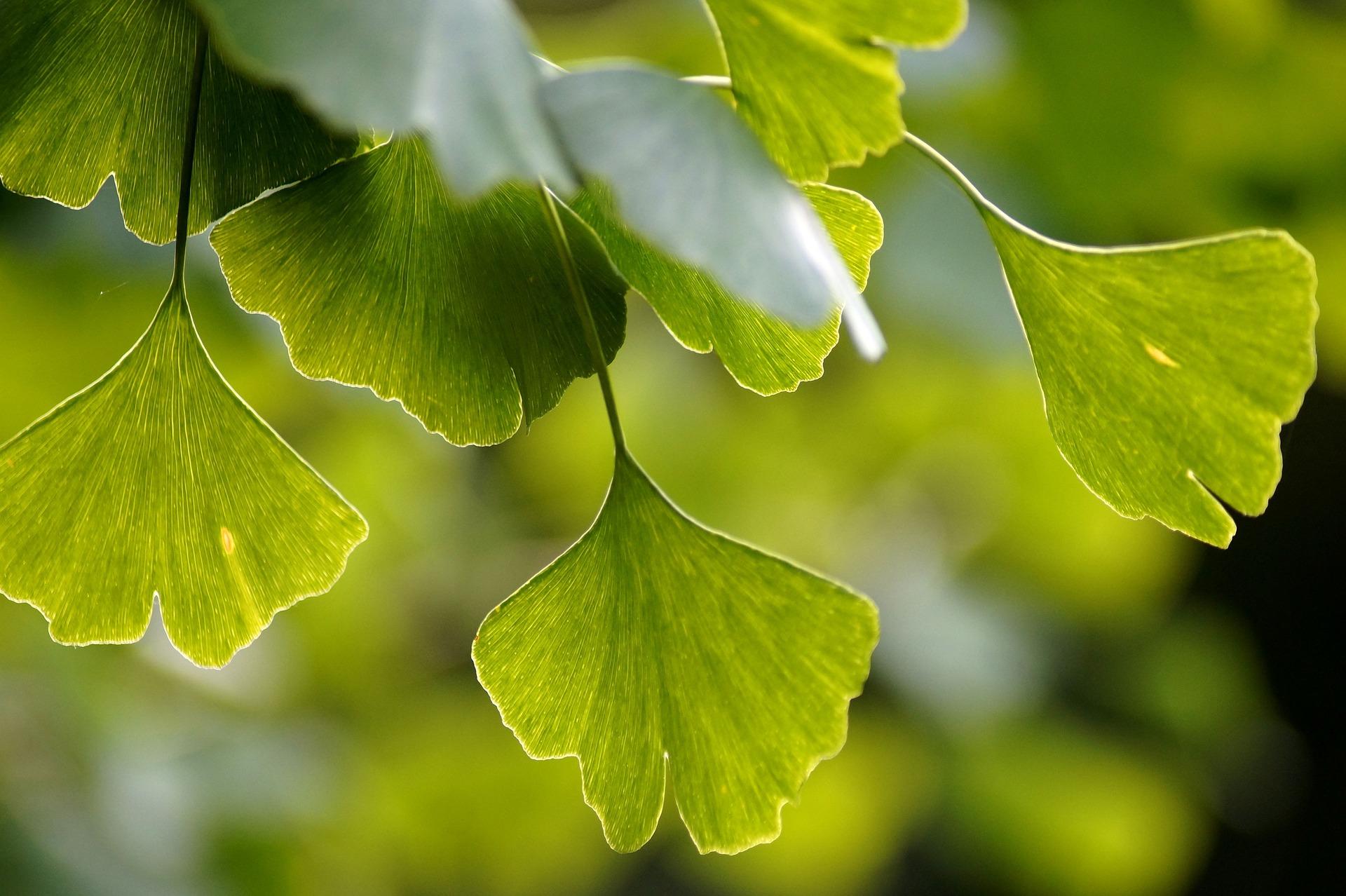 Деревья гинкго билоба: почти бессмертие 1