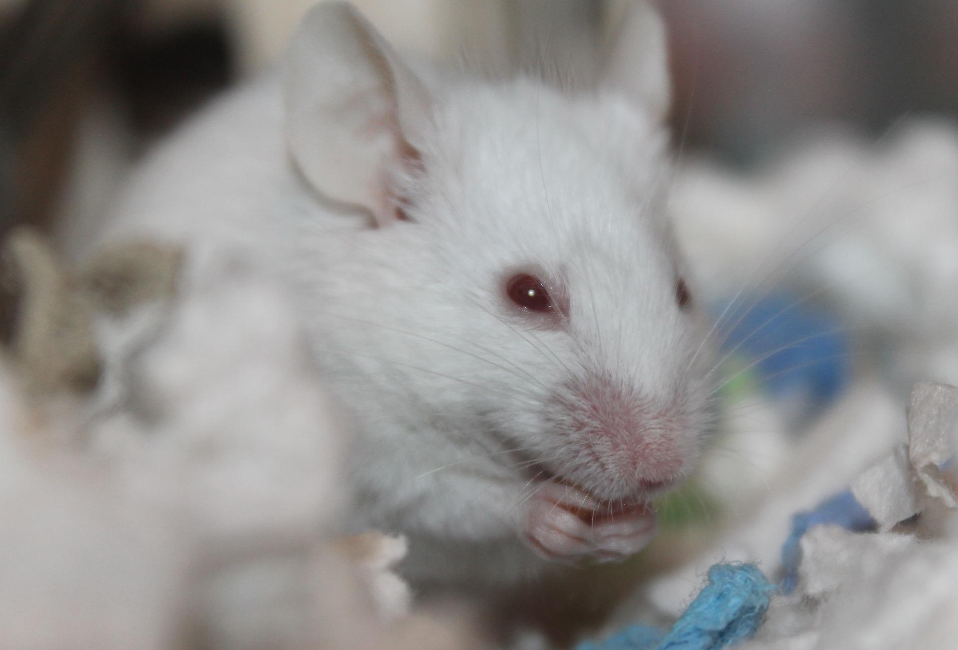Очищение от старых клеток продлевает жизнь - лабораторная мышь