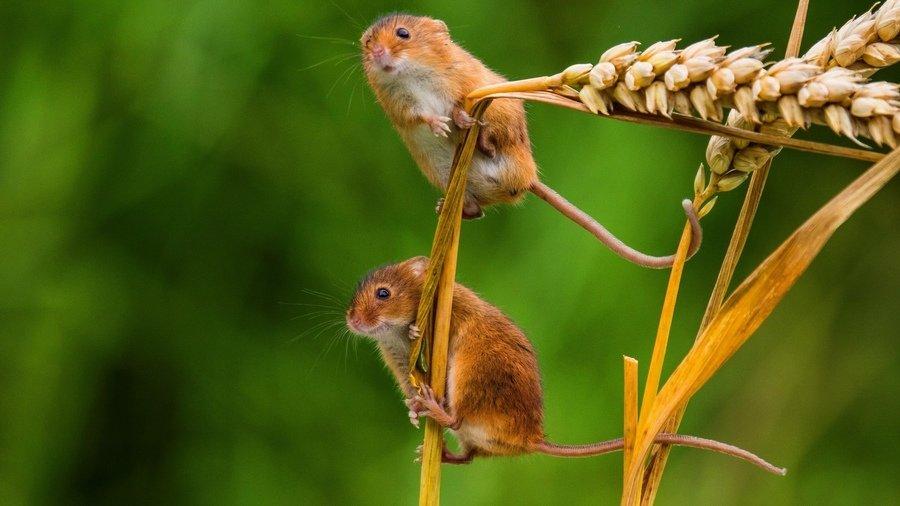 Мыши-полёвки. Запрограммирован ли мозг на тоску?